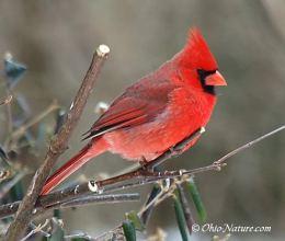 Sunday Inspiration – Cardinalidae Family of CardinalsPlus
