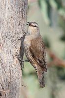 Brown Treecreeper (Climacteris picumnus) ©WikiC