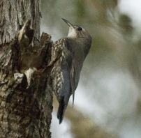 White-throated Treecreeper (Cormobates leucophaea) ©WikiC