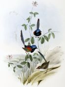 Blue-breasted Fairywren (Malurus pulcherrimus) ©Drawing WikiC