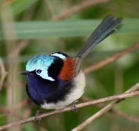 Red-winged Fairywren (Malurus elegans) male-breeding ©WikiC