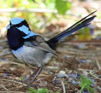 Splendid Fairywren (Malurus splendens cyanochlamys) face with fan display ©WikiC