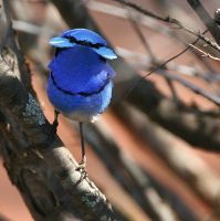 Splendid Fairywren (Malurus splendens melanotus) face with fan display ©WikiC