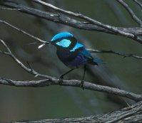Splendid Fairywren (Malurus splendens musgravei)-Turquoise- ©WikiC