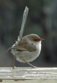 Superb Fairy-wren (Malurus cyaneus) Female ©WikiC