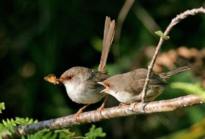 Superb Fairy-wren (Malurus cyaneus) Juvenile and Female ©WikiC
