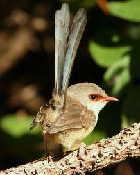Variegated Fairywren (Malurus lamberti lamberti) female ©WikiC