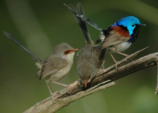 Variegated Fairywren (Malurus lamberti lamberti) male and females ©WikiC