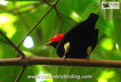 Red-capped Manakin (Dixiphia mentalis) ©Flickr Columbiabirding