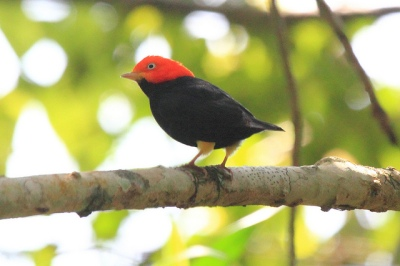 Red-capped Manakin (Ceratopipra mentalis) ©Flickr Dominic Sherony