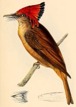Amazonian Royal Flycatcher (Onychorhynchus coronatus) ©Drawing WikiC