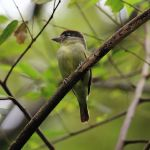 Black-capped Becard (Pachyramphus marginatus) ©WikiC