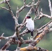 Black-tailed Tityra (Tityra cayana) ©WikiC