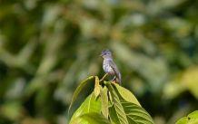 Buff-throated Purpletuft (Iodopleura pipra) ©WikiC