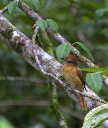 Chestnut-crowned Becard (Pachyramphus castaneus) ©Wiki