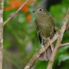 Greenish Schiffornis (Schiffornis virescens) ©WikiC
