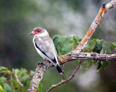Masked Tityra (Tityra semifasciata) ©WikiC