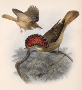 Northern Royal Flycatcher (Onychorhynchus mexicanus) ©Drawing WikiC