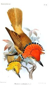 Pacific Royal Flycatcher (Onychorhynchus occidentalis) ©Drawing WikiC