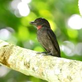 Pink-throated Becard (Pachyramphus minor) ©WikiC
