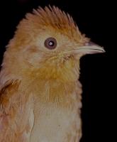 Russet-winged Schiffornis (Schiffornis stenorhyncha) ©WikiC