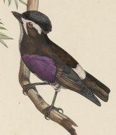 White-browed Purpletuft (Iodopleura isabellae) ©PD