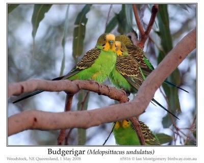 PSI-Psit Budgerigar (Melopsittacus undulatus) by Ian