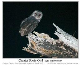Ian's Bird of the Week – Greater SootyOwl