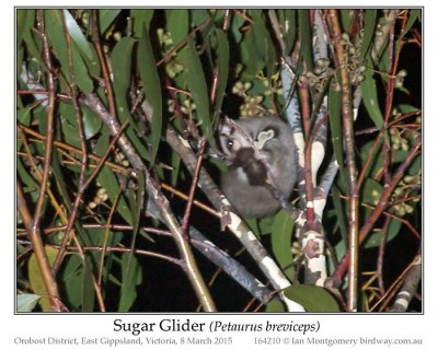 Sugar Glider (Petaurus briviceps) by Ian
