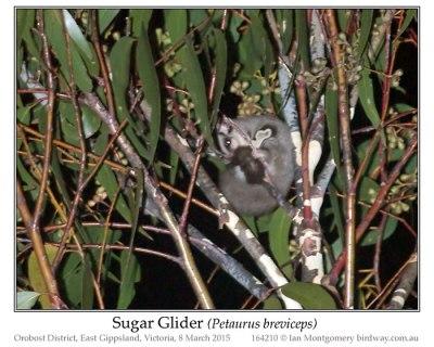 Sugar Glider (Petaurus briviceps) by Ian