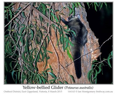 Yellow-bellied Glider (Petaurus australis) by Ian