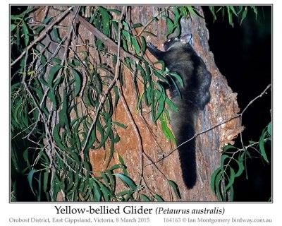 Yellow-bellied Glider (Petaurus australis) by Ian