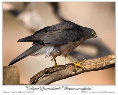 Collared Sparrowhawk (Accipiter cirrocephalus) by Ian