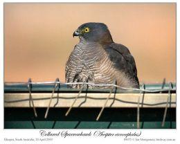 Ian's Bird of the Week – CollaredSparrowhawk