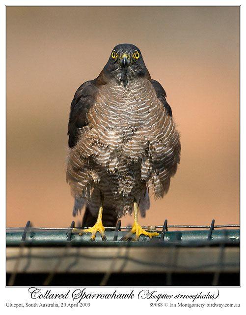 Collared Sparrowhawk (Accipiter cirrocephalus) by Ian