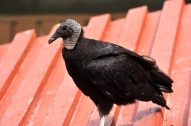 Black Vulture by Dan