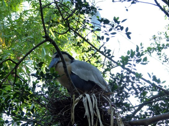 Boat-billed Heron by Lee at LPZ