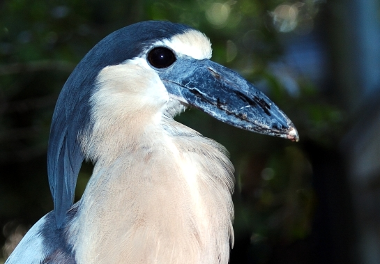 Boat-billed Heron Lowry Park Zoo by Dan 4-5-15