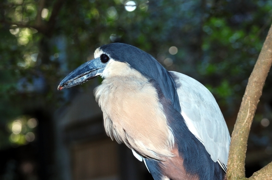Boat-billed Heron Lowry Park Zoo by Dan