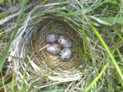 Bobolink Nest ©Flickr Mike Allen