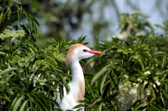 Cattle Egret by Dan (1)