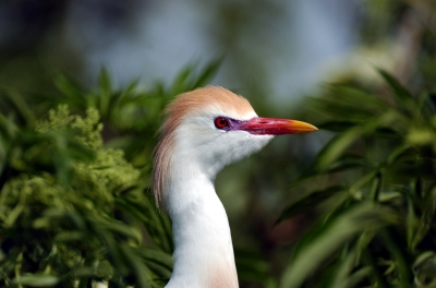 Cattle Egret In Breeding Plumage by Dan