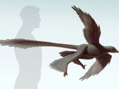 Changyuraptor yangi (aka feathered dinosaur) ©Stephanie Abramowicz
