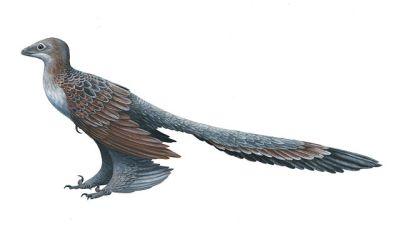 Changyuraptor yangi (aka feathered dinosaur)©WikiC