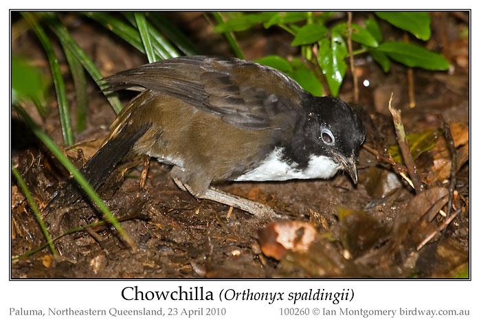 Chowchilla (Orthonyx spaldingii by Ian
