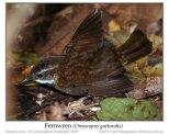 Fernwren 9Oreoscopus gutturalis) by Ian