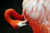 American Flamingo by Dan