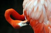 American Flamingo by Dan