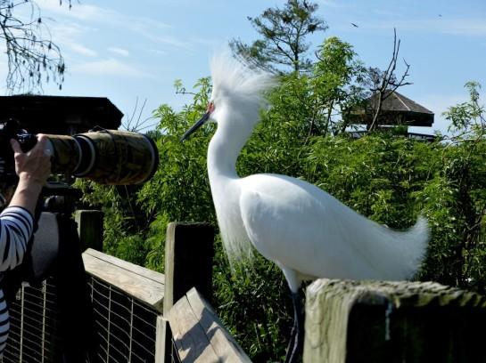 Snowy Egret on Rail at Gatorland by Lee