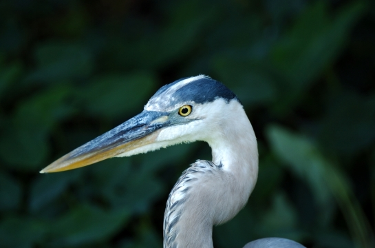 Great Blue Heron (1)